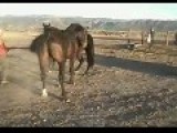 Not A Real Stud- Horse Falls Asleep After Horsey Sex