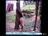 Panda Chases Down Peacock And Kills It