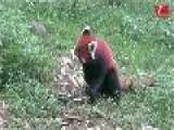 Reserva Osos Panda En Chengdu China