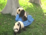 Baby Panda Falls Off Rocker