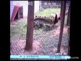 Real Kung Fu Panda Hunts Down And Kills Peacock