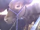 Cow At Allentown Fair