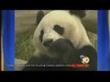 Animal Keeper Recovering From Panda Attack