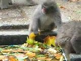 Eetgedrag Van De Japanse Makaak