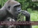 Gorilla Inseparabile Dal Cucciolo Morto