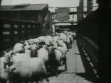 Archival: Sheep In Chicago Stockyards By Thomas A. Edison, 1897 LOC