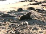 Elephant Seals, San Simeon Beach