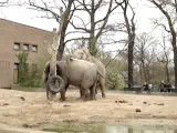 Elephants Mating In Berlin Zoo