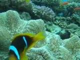 Jeddah Clownfish