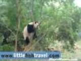 Commando Training Panda