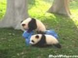 Rocking Horse Riding Panda Has A Hard Time